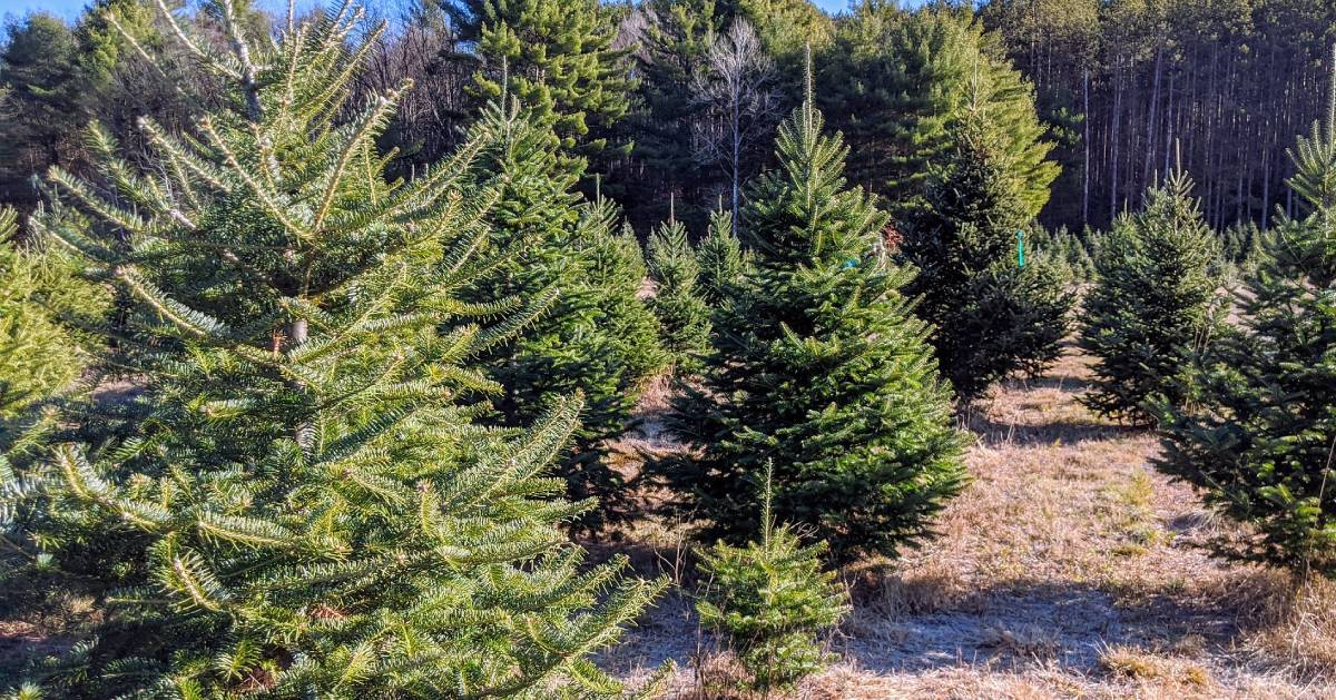group of christmas trees