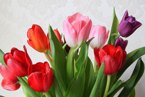 colorful pink red purple tulips