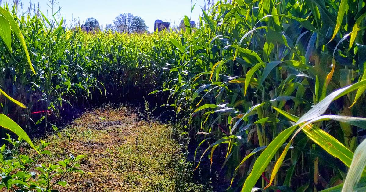 path in corn maze