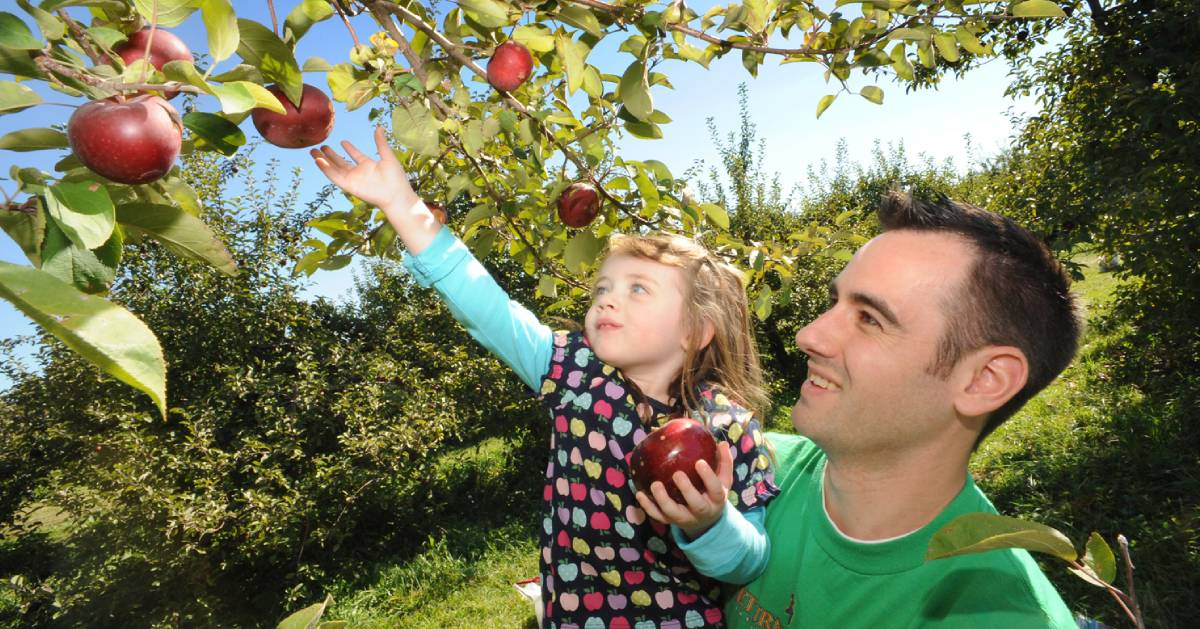 dad and daughter picking apples