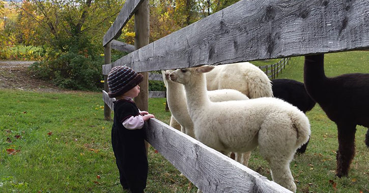 girl standing near fenced in farm lambs