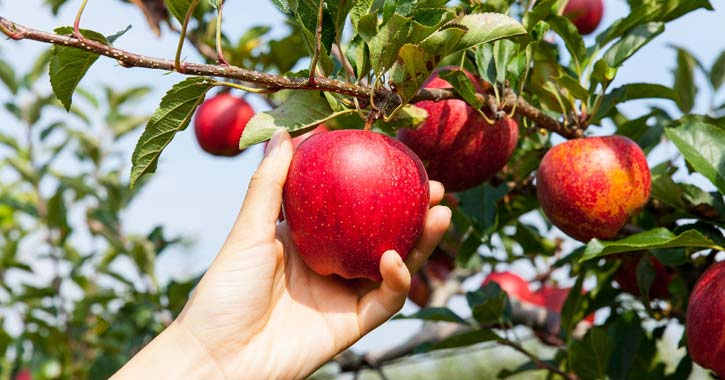 red apples in a tree