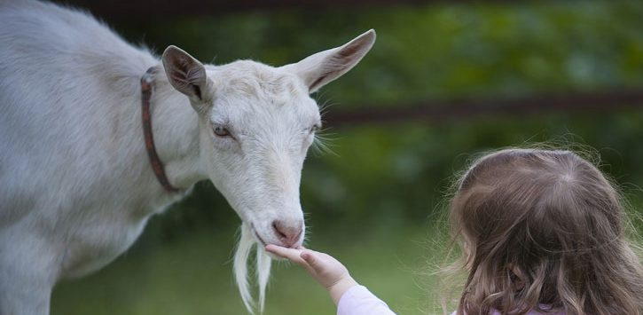 little girl reaching hand out to goat