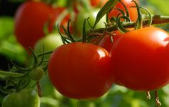 close up of cherry tomatoes on the vine