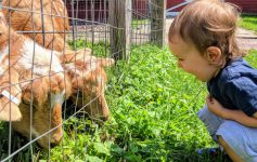 a toddler smiling widely at goats