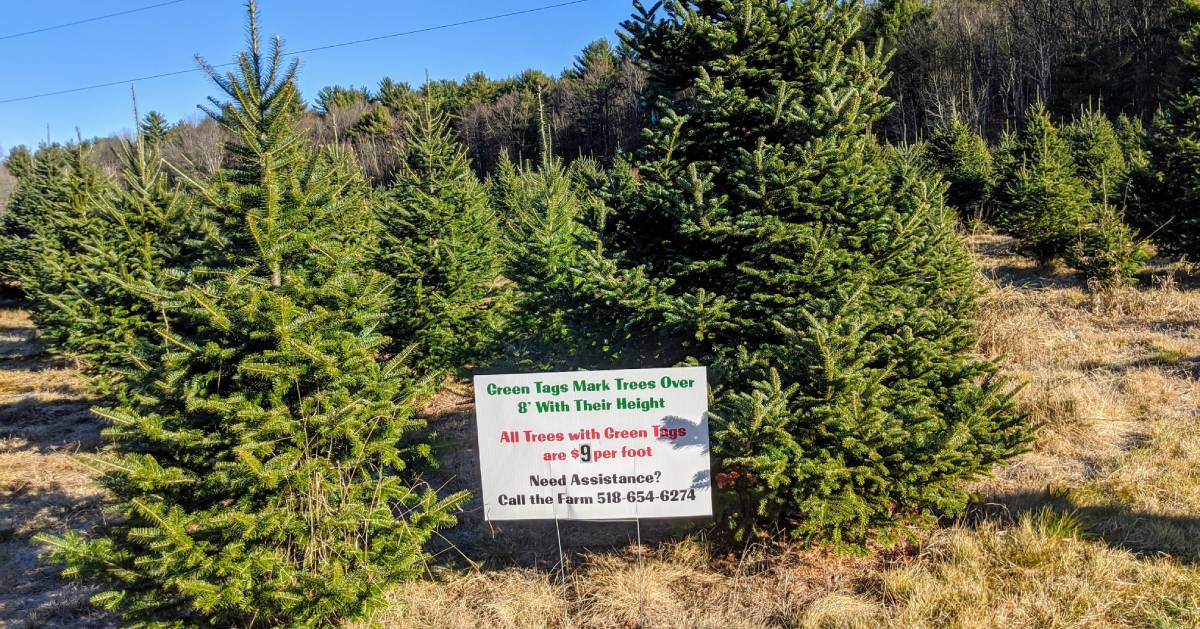 Christmas trees and sign in tree farm